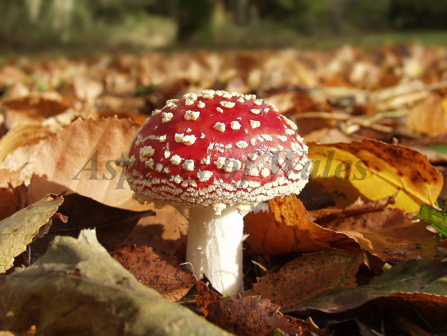 Fly agaric, Amanita muscaria